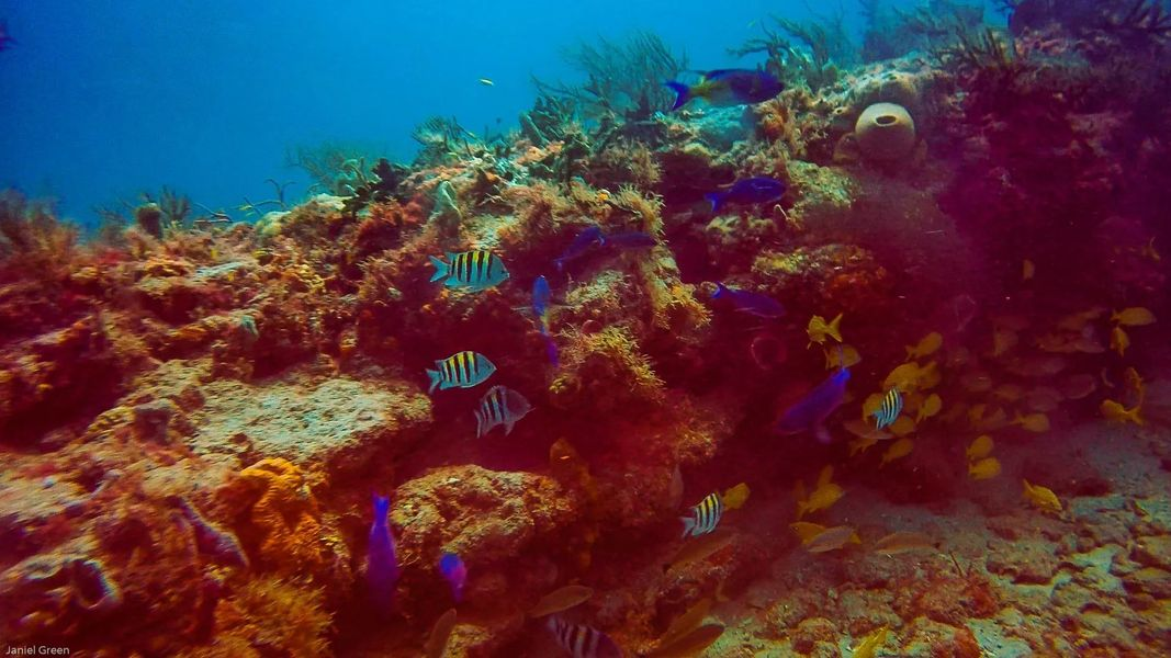 Scuba Diving Singer Island Florida with blue and yellow fish hiding among the coral.