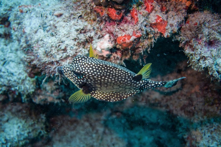 A spotted brown fish with yellow feather like fins - photo credit Jennifer Coleman from Coleman Concierge